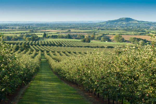 thatchers-orchard-somerset